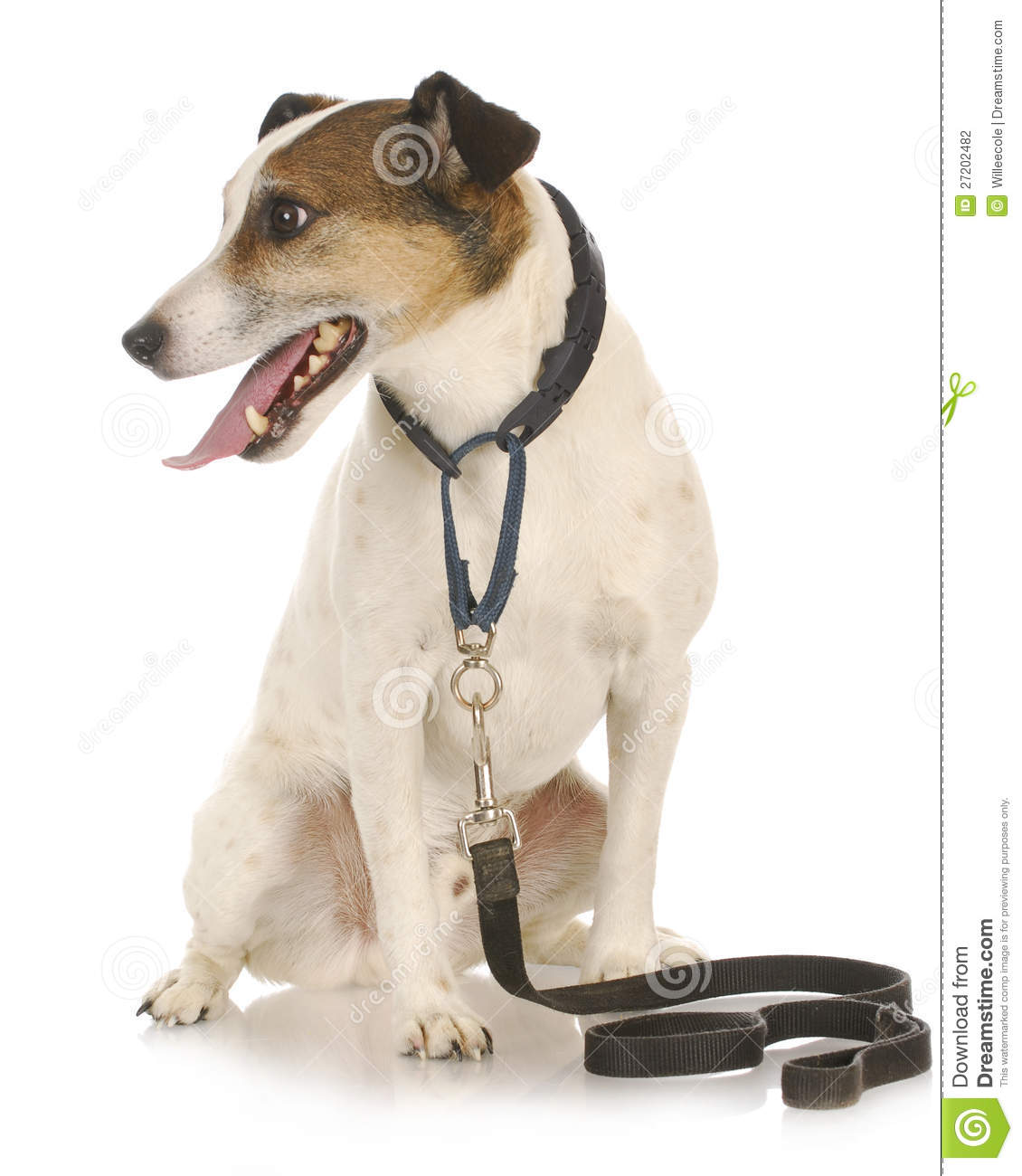 Dog Waiting To Go For A Walk Stock Photo