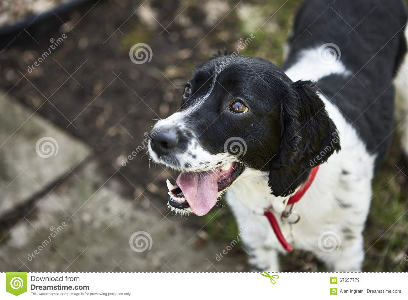 Download Dog waiting to play stock image. Image of action, happy - 67657779