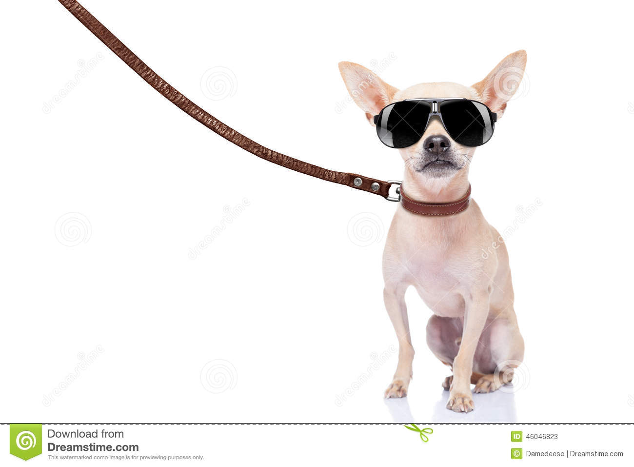 Chihuahua dog ready for a walk with owner , with leather leash and ...