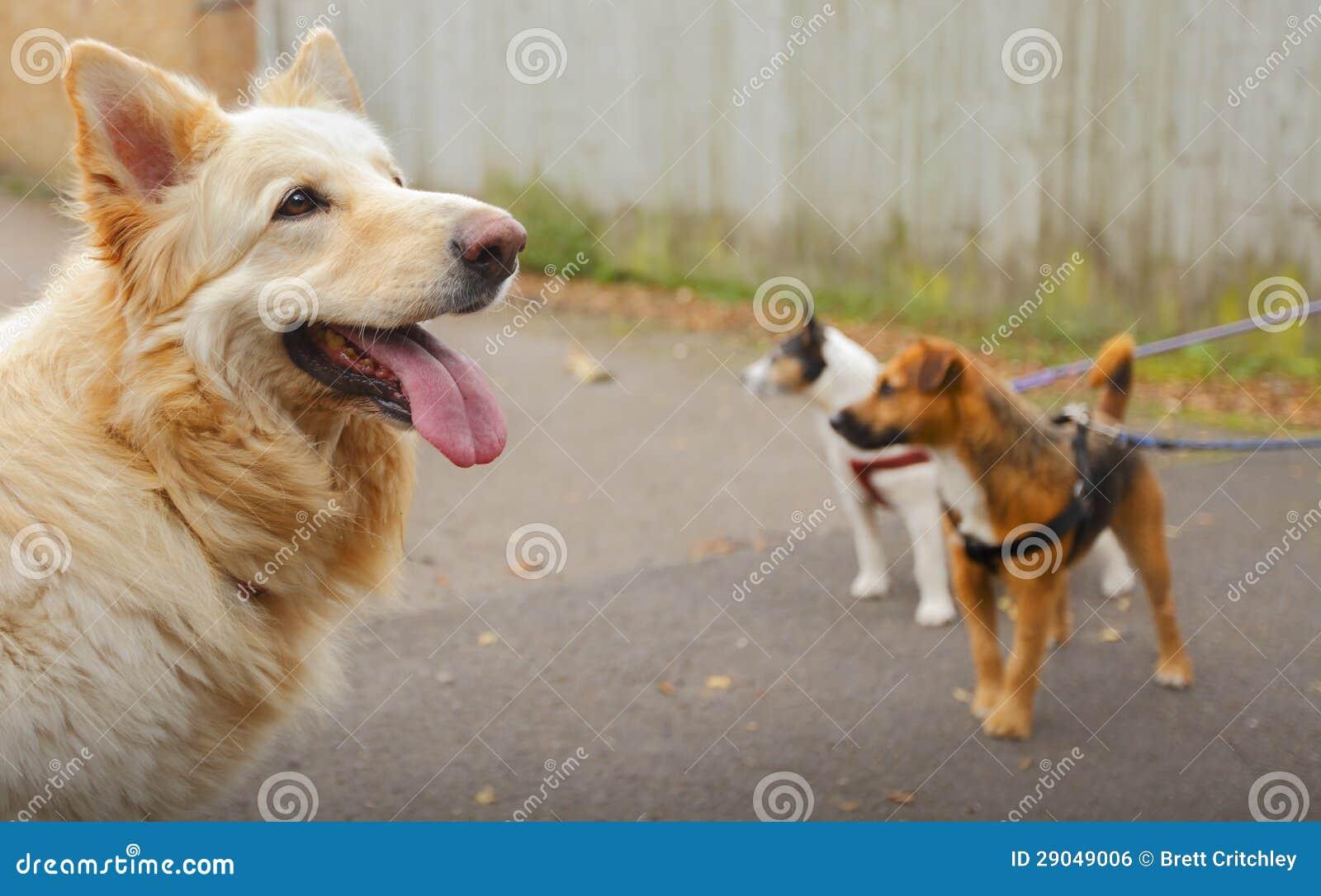 Dog Walking Dogs Royalty Free Stock Image