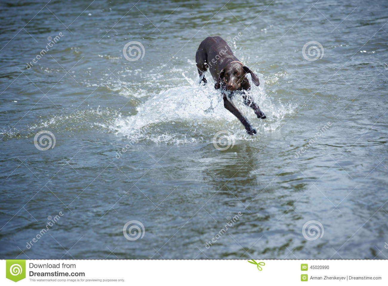Dog in the water
