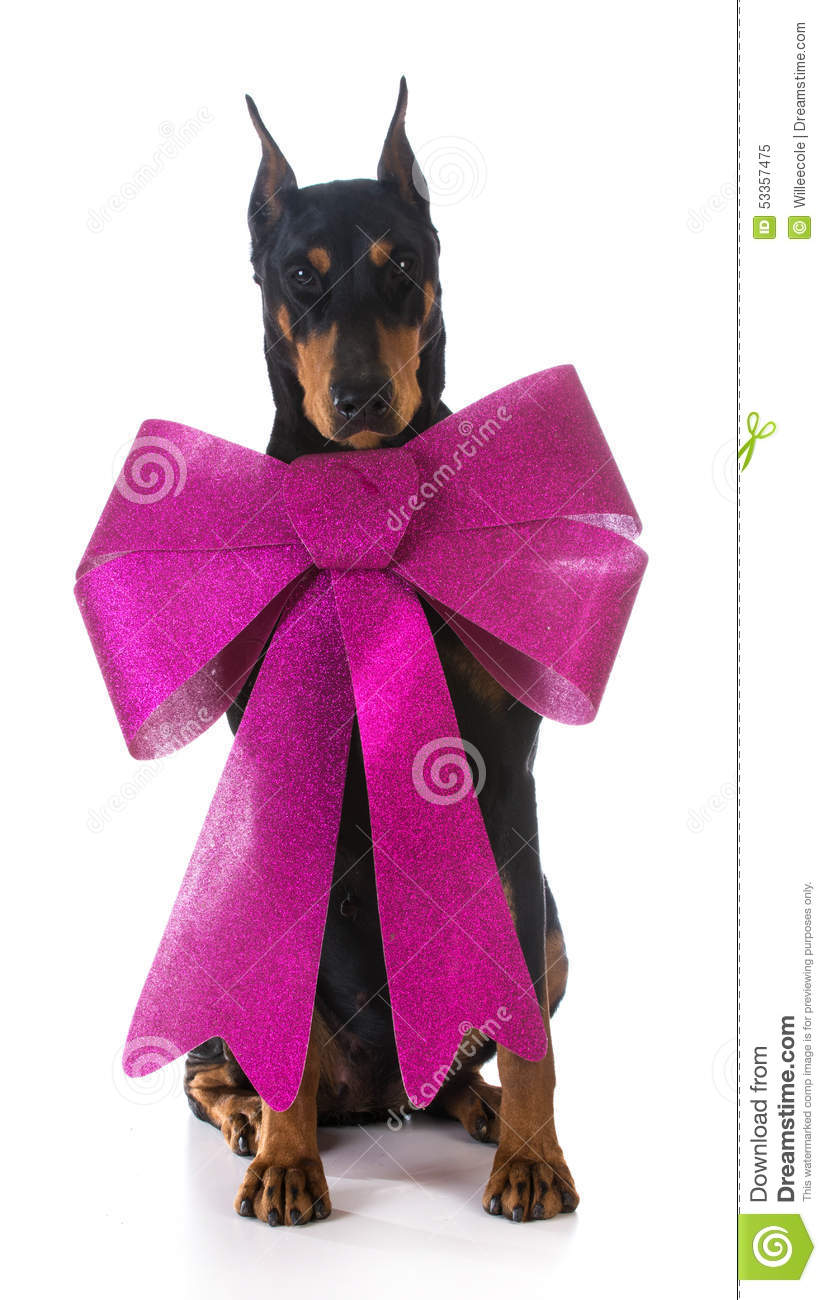 Dog Wearing A Big Bow Stock Image Image Of Funny Present 53357475