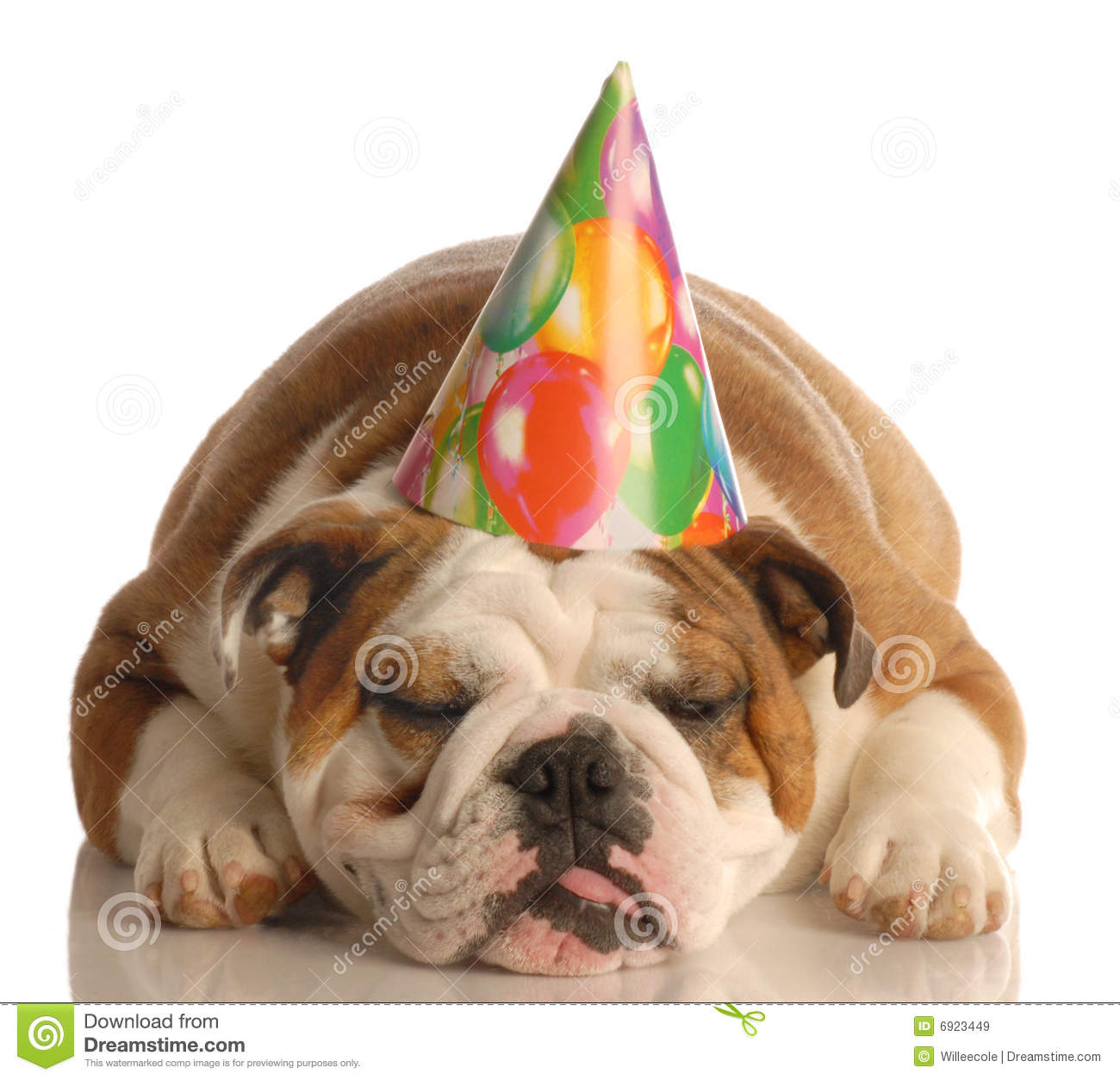 English Bulldog Wearing Birthday Party Hat Isolated On White Background