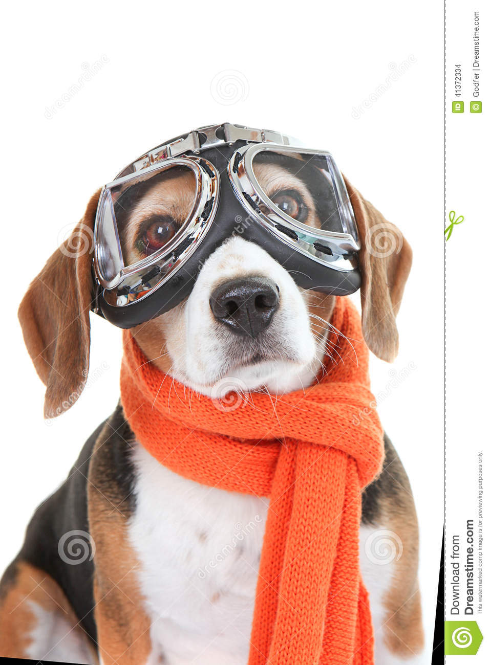 Dog wearing flying glasses or goggles stock photo image for Small dogs on airplanes
