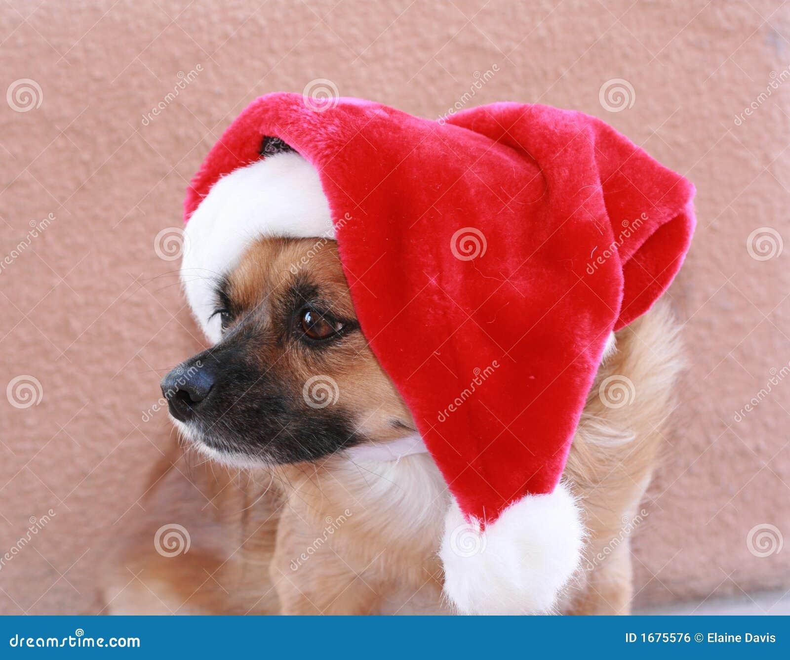 Dog wearing his santa hat stock photo image of holiday