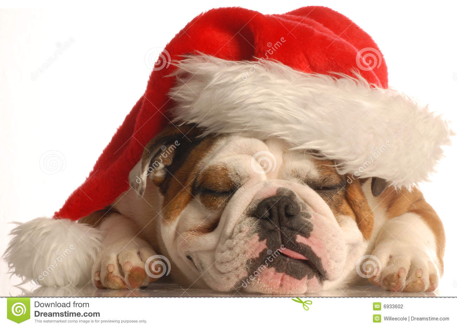 5db9ec68b05e9 Dog wearing santa hat stock photo. Image of greetings - 6933602