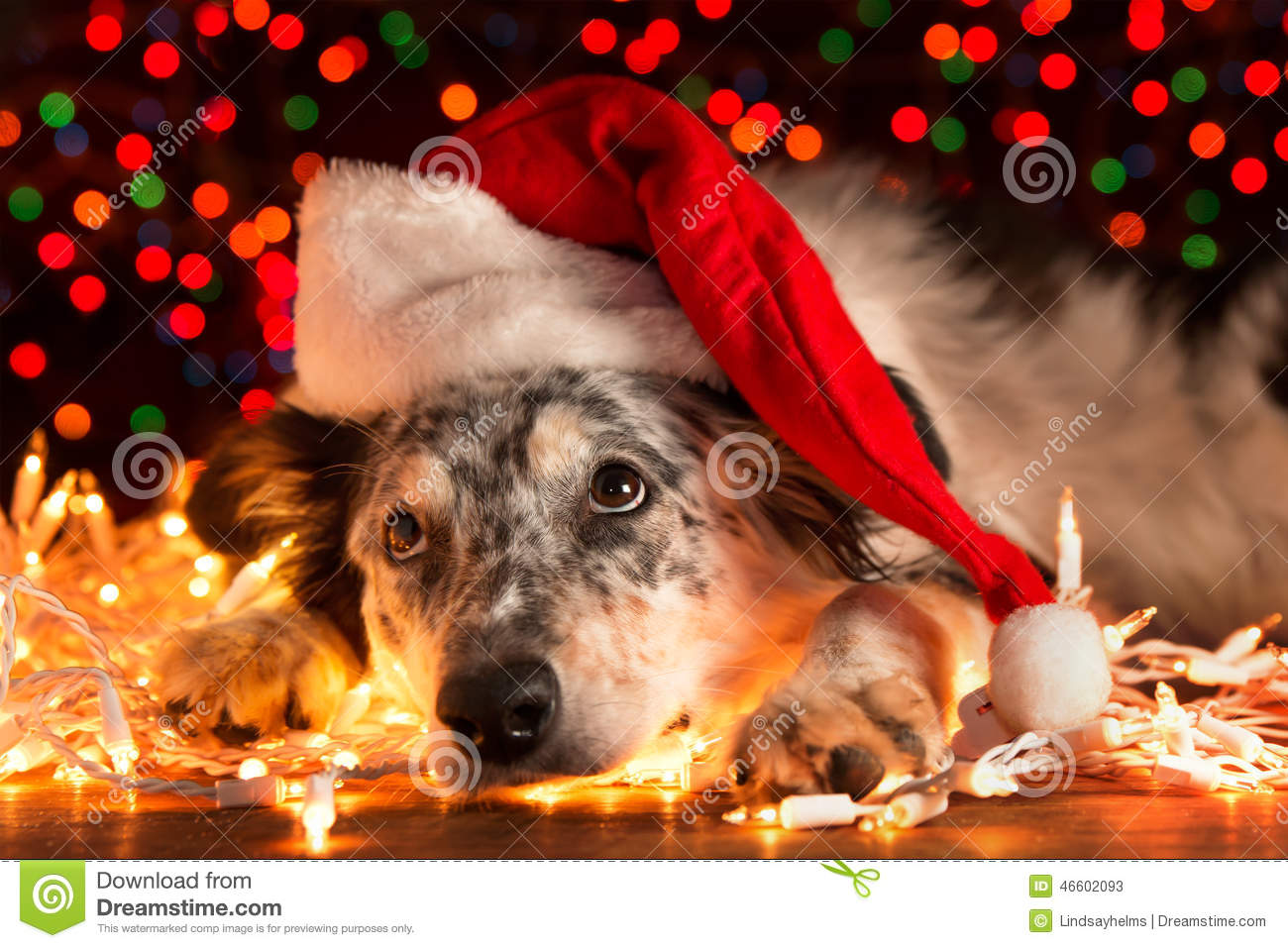 royalty free stock photo download dog wearing santa hat with christmas lights - Dog Christmas Lights