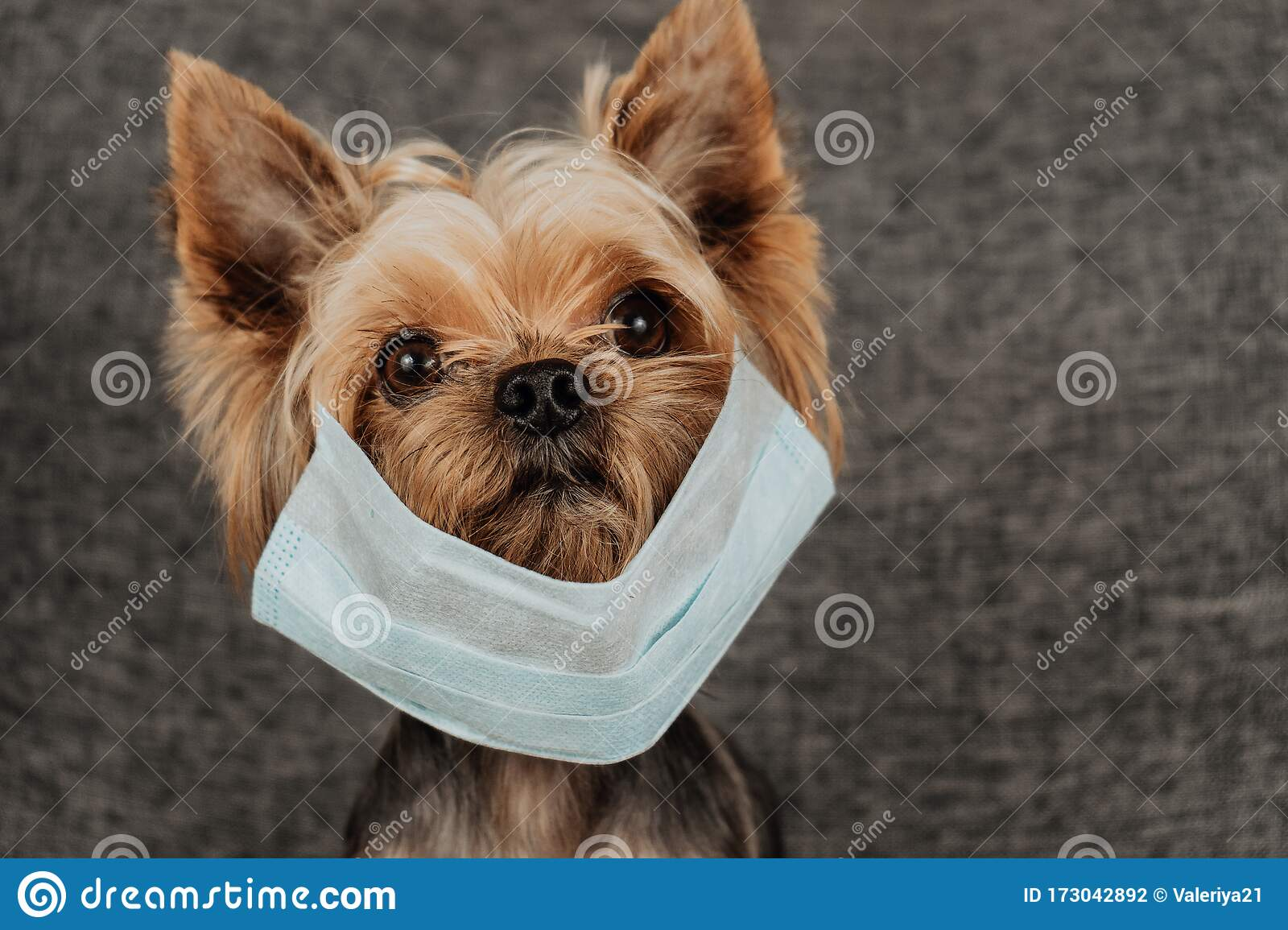 Dog Yorkshire Terrier In A Medical Mask Coronavirus Health Protection Stock Photo Image Of Canine Small 173042892