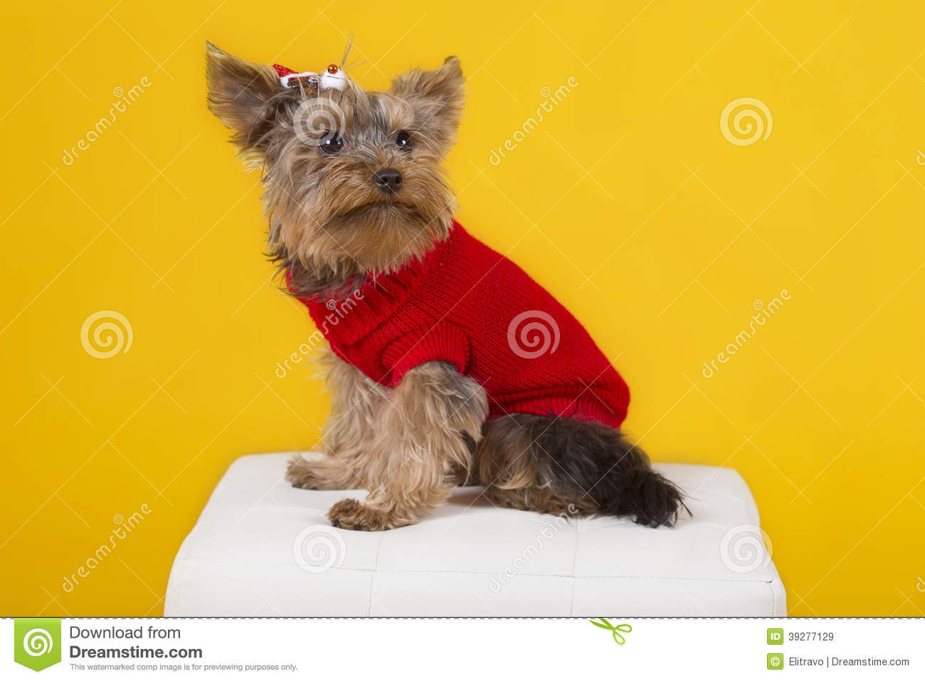 Dog yorkshire terrier in clothes
