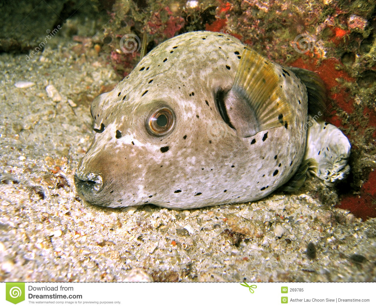 Dogface pufferfish royalty free stock photo image 269785 for Dog face puffer fish