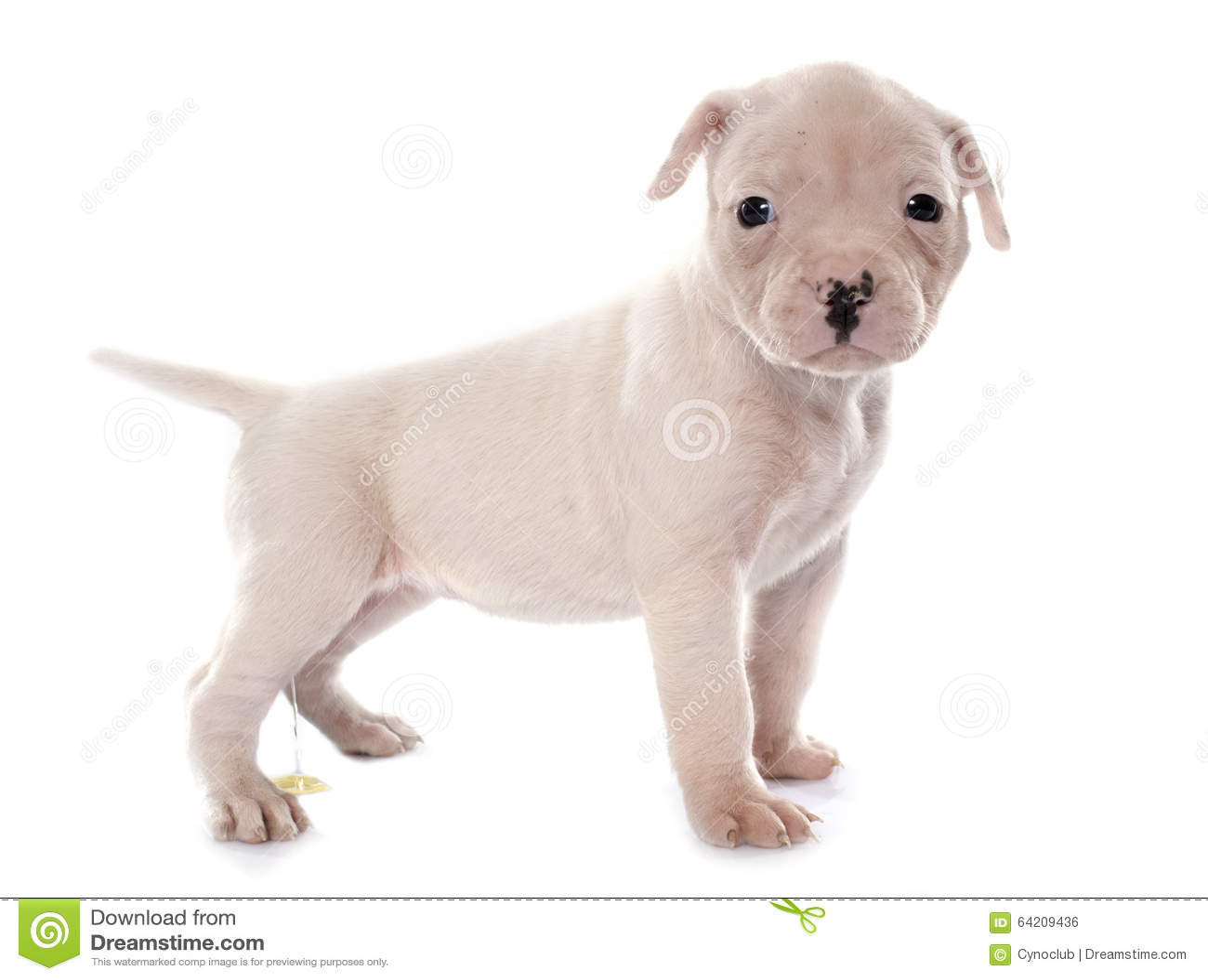Dogo americano del perrito que orina