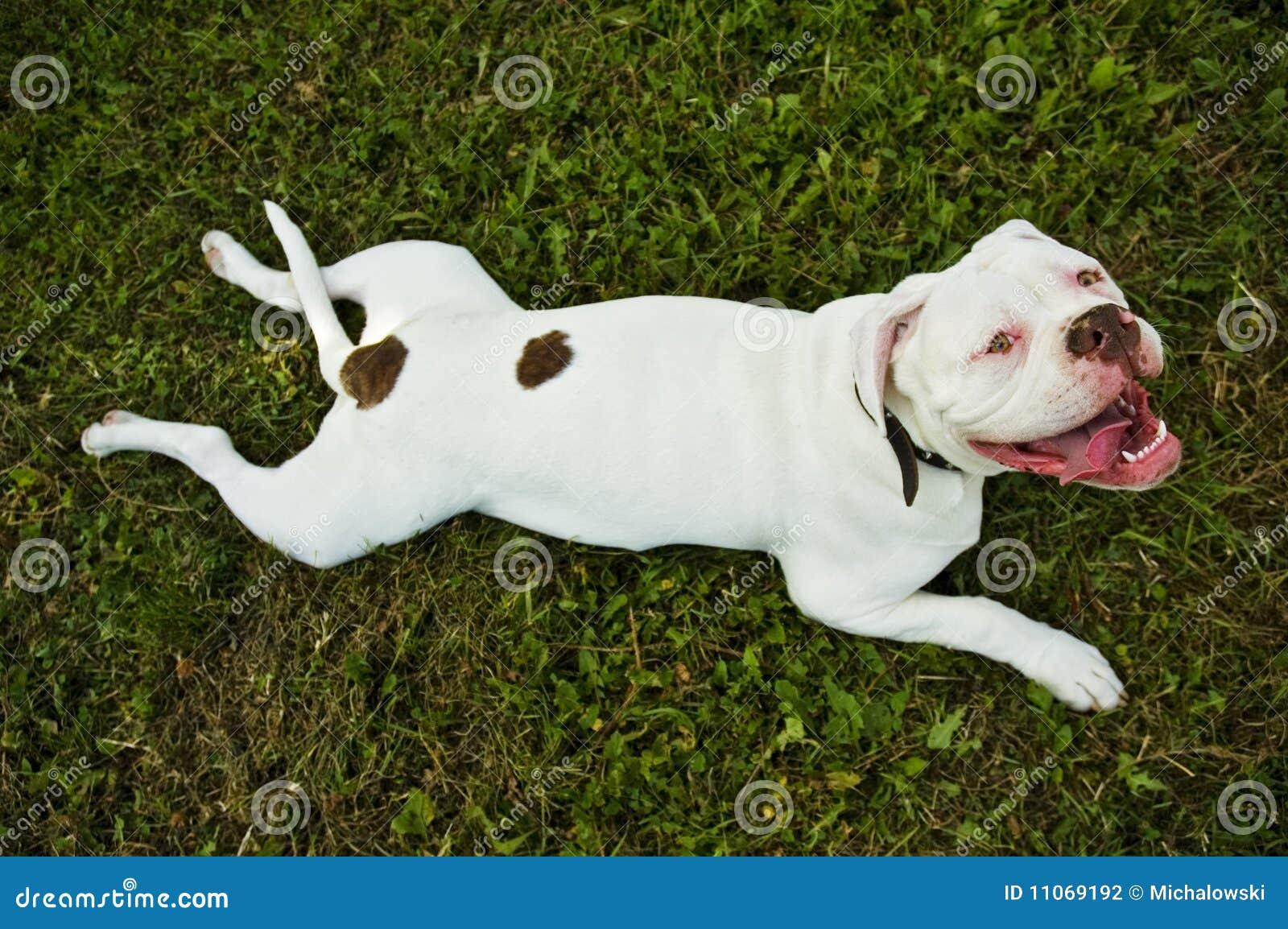 Dogo americano en hierba