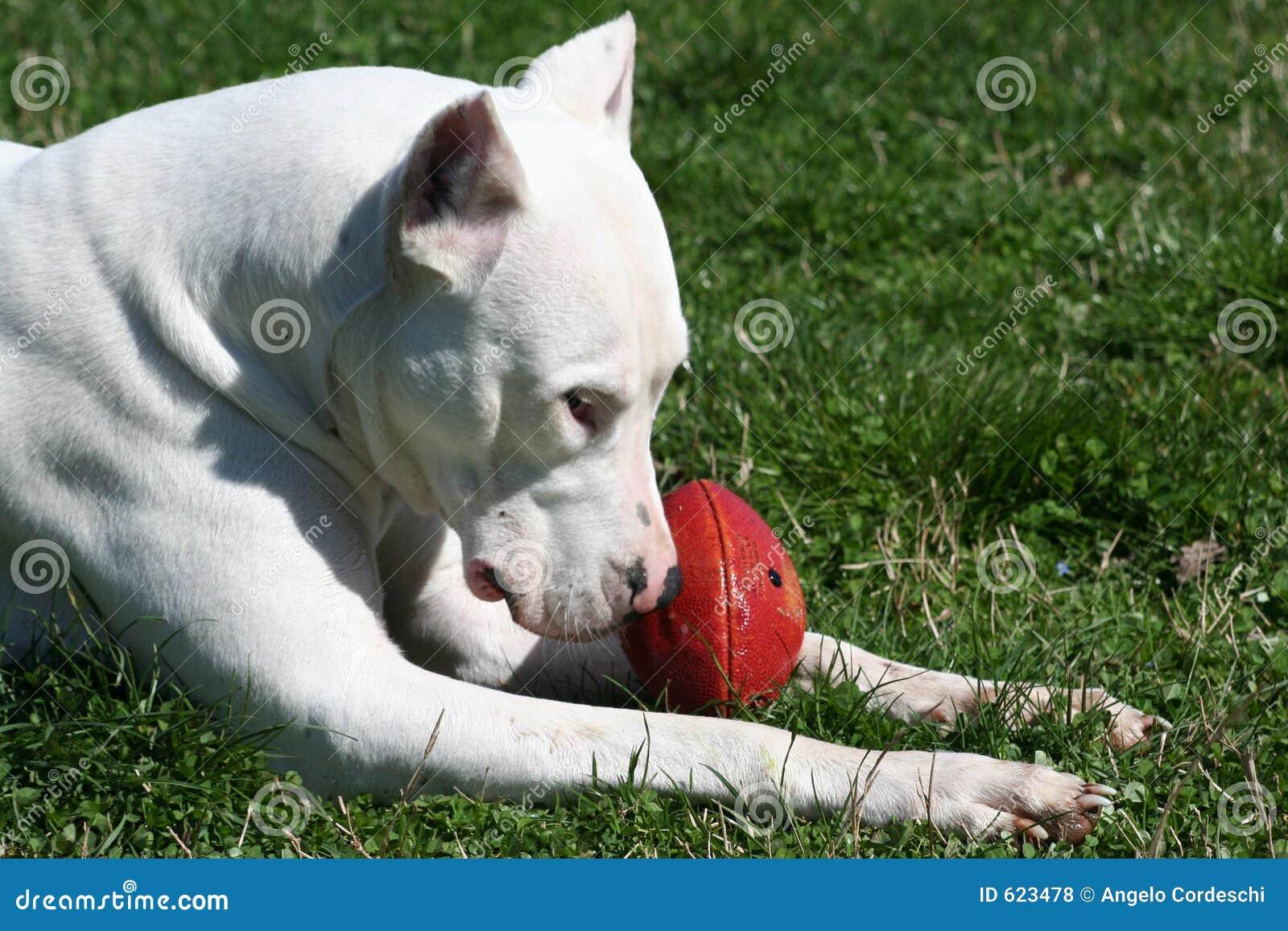 Dogo Argentinië met de Bal van het Rugby