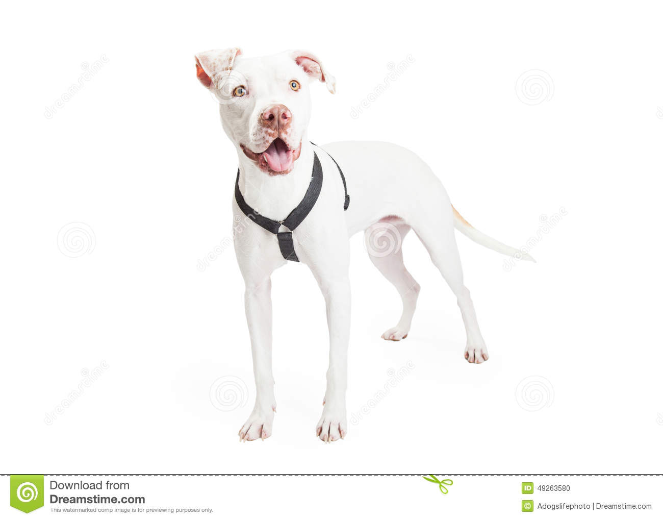 Dogo Argentino Dog Standing Stock Photo - Image of forward ...