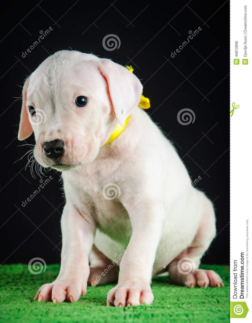 Dogo Argentino puppy stock photo  Image of looking, laziness - 46812896