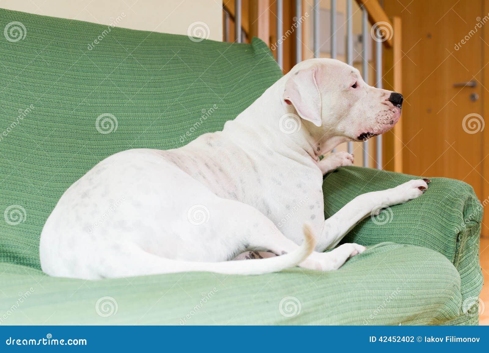 Dogo Argentino am Wohnzimmer
