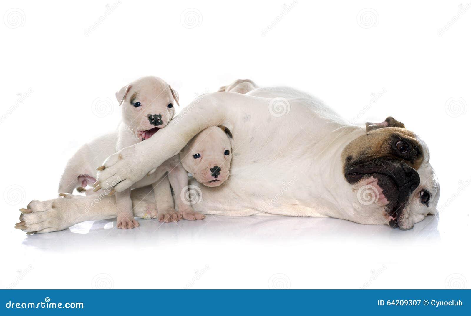 Dogo de la madre y del americano de los perritos