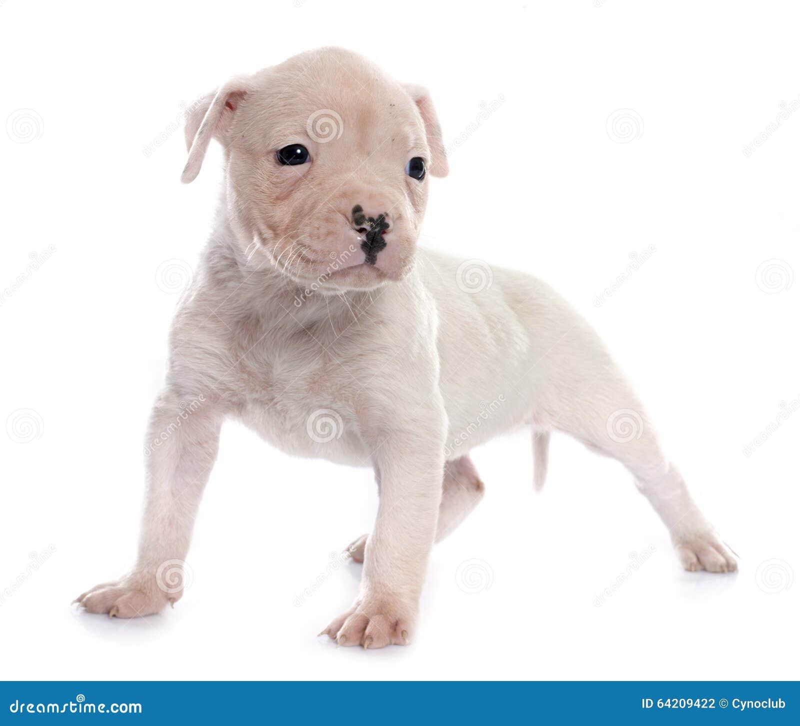 Dogo del americano del perrito