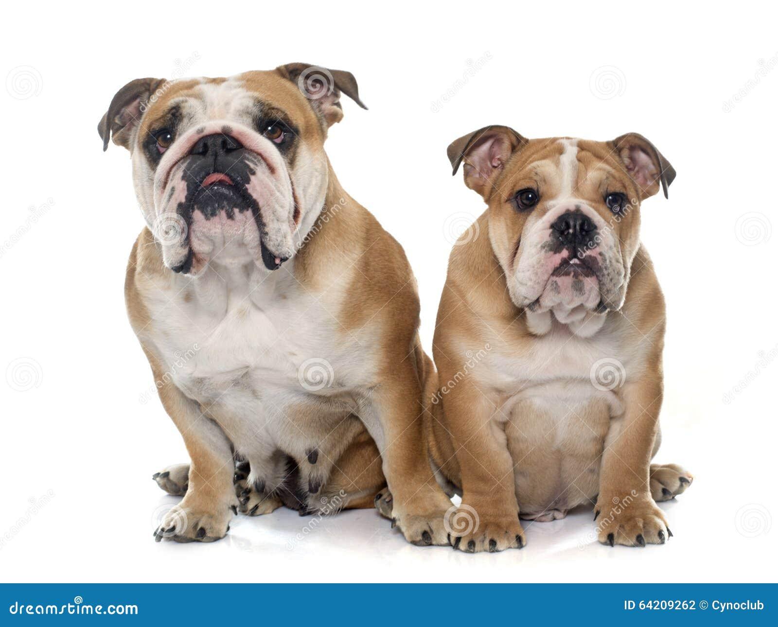 Dogo del inglés del adulto y del perrito