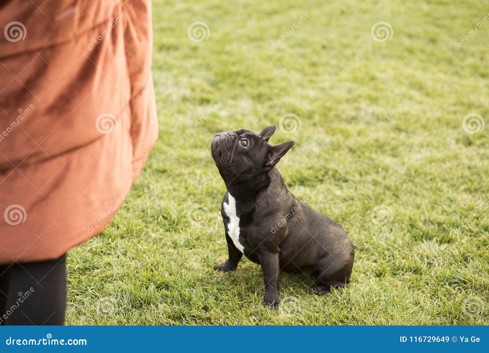 Dogo francés