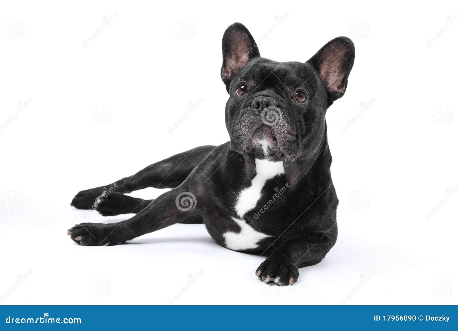 Dogo francés negro en el fondo blanco.