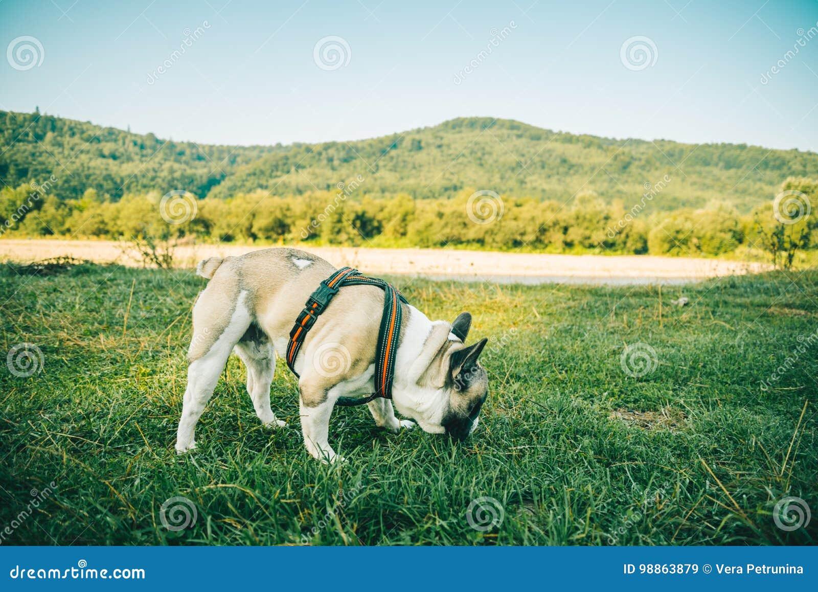 Dogo francés que juega en hierba verde