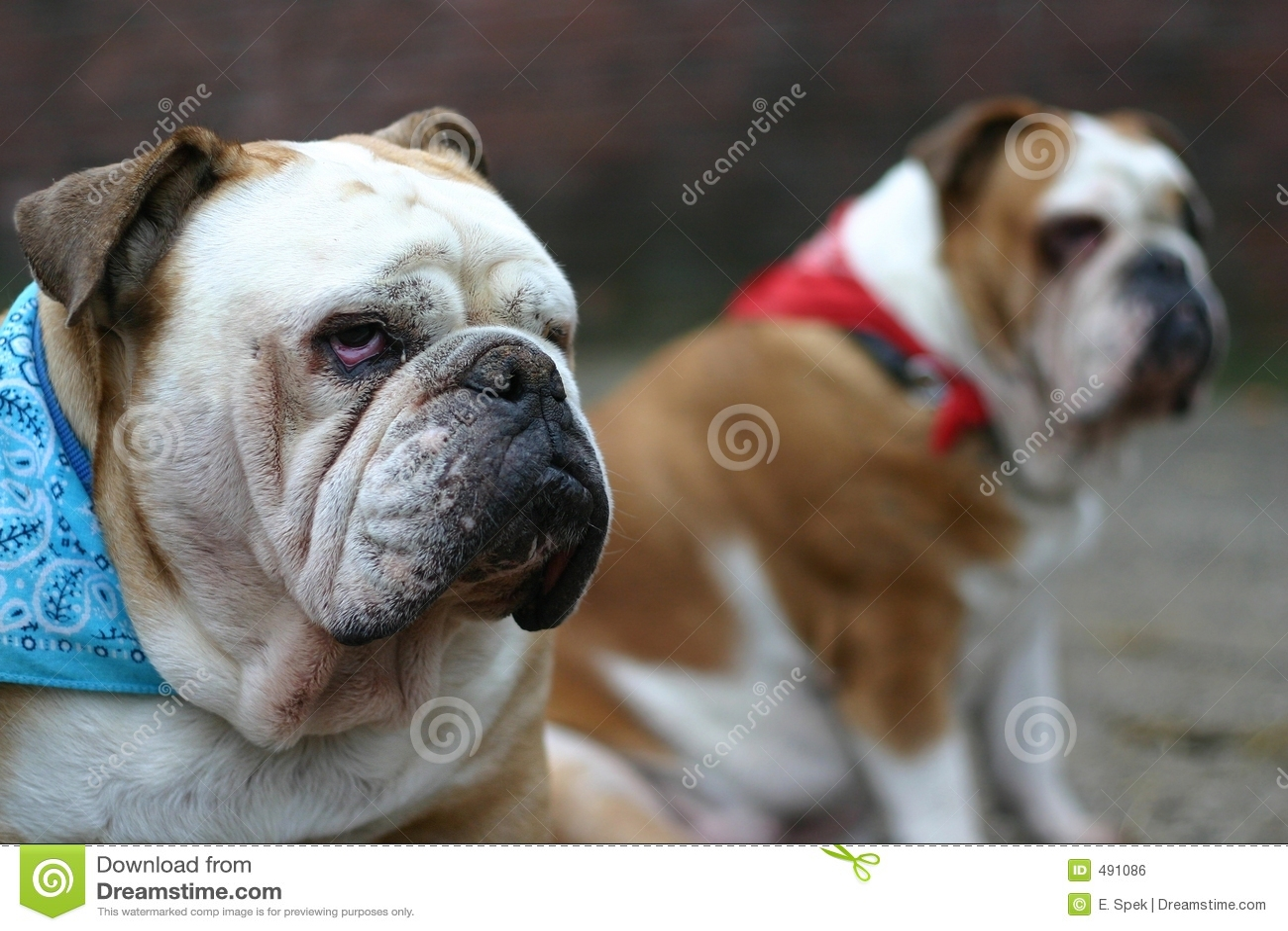 Dogos británicos