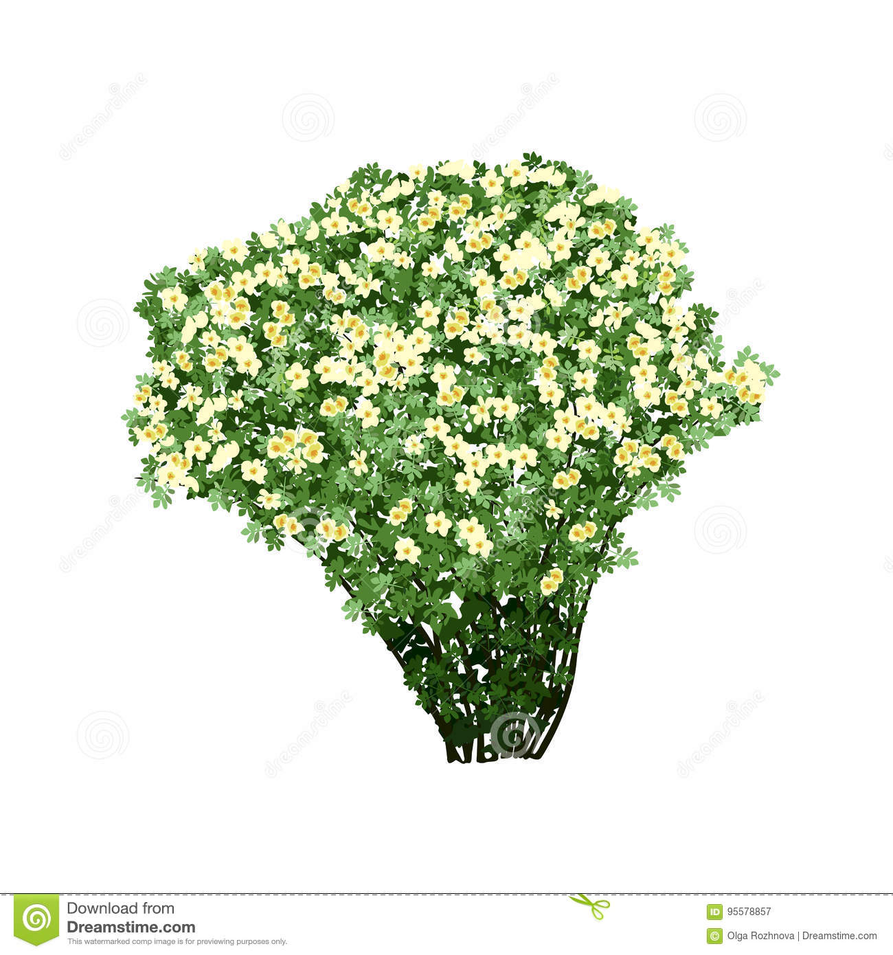 Dogrose Bush With White Flowers Stock Vector Illustration Of