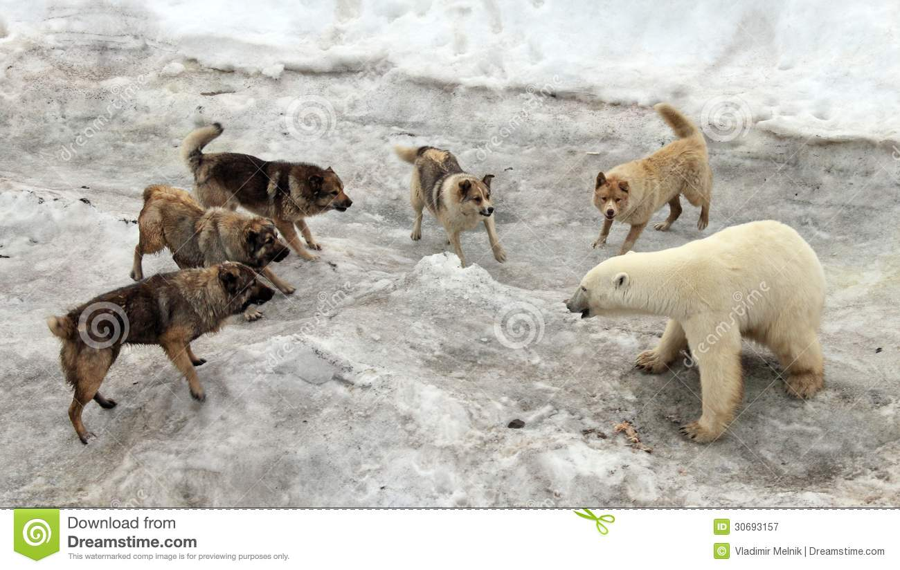 Dogs Attacking Polar Bear Royalty Free Stock Photography - Image ...