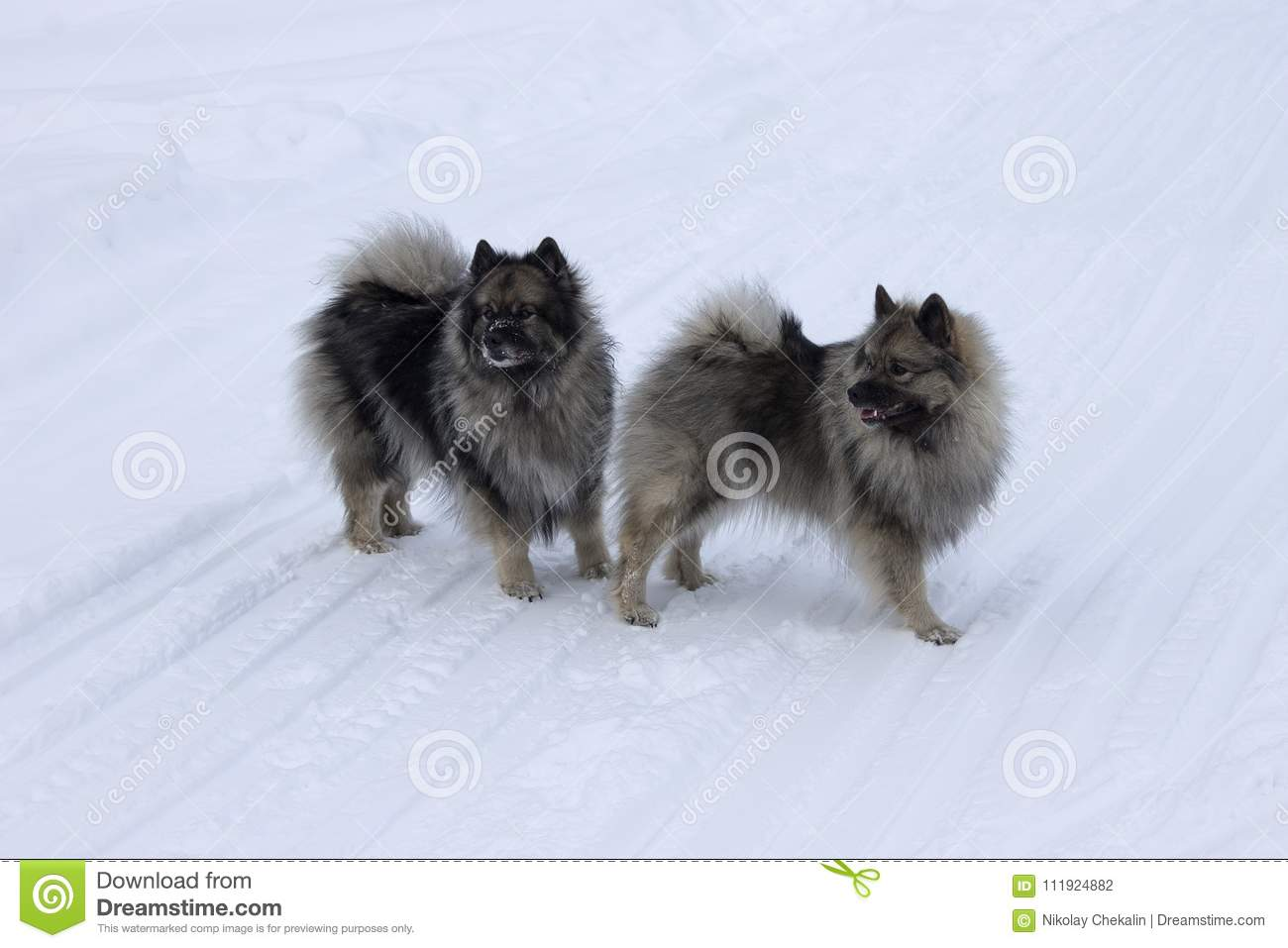 Wolfspitz dogs in the snow