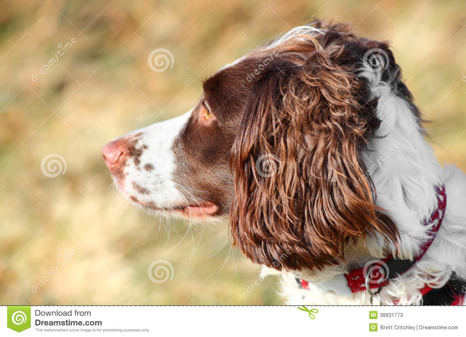 Dogs Ear Spaniel Dog Stock Image Image Of Space Springer