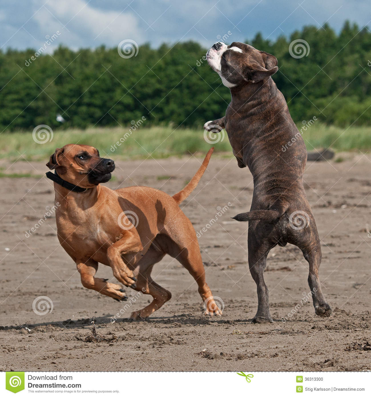 Male Dogs Fighting Over Food