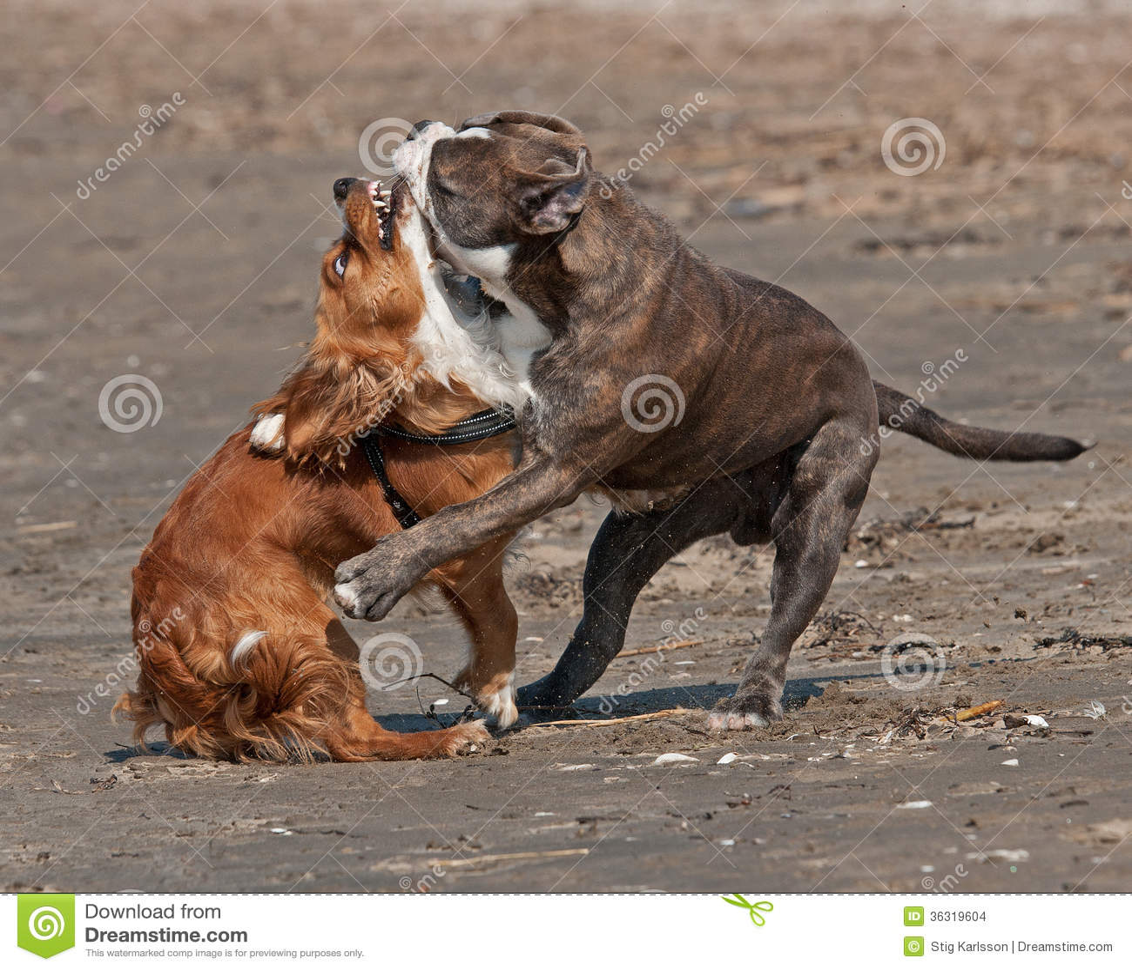 beautiful blue brindle Olde English Bulldog and crossbreed hound ...