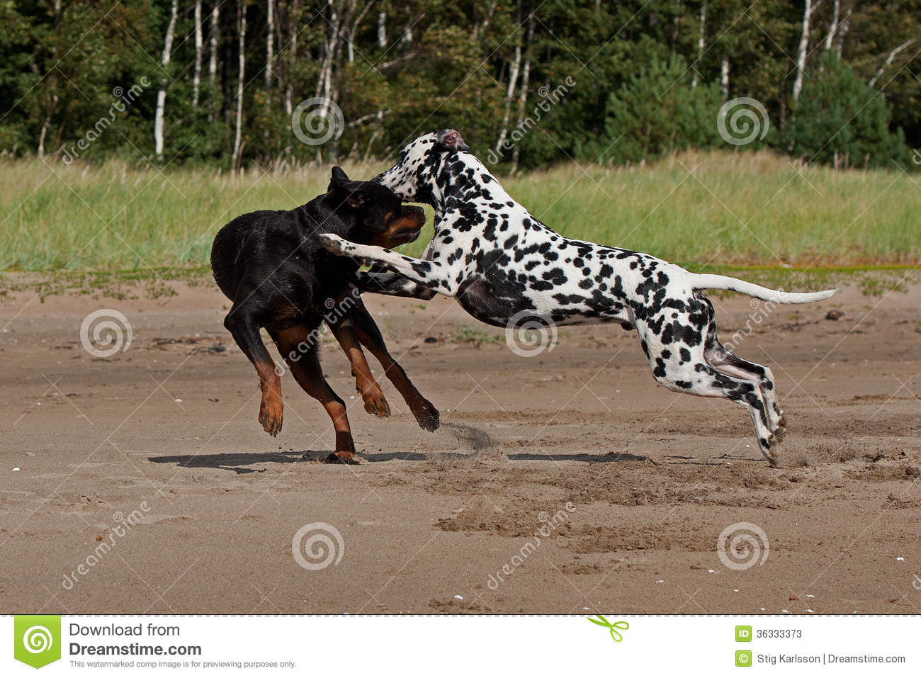 Dogs Fighting On The Sand Stock Image Image Of Canine