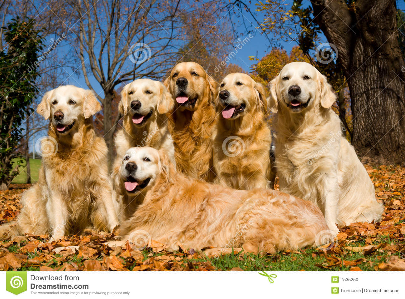 Dogs GR Golden Retrievers in field of Autumn leaves, tongues wagging.