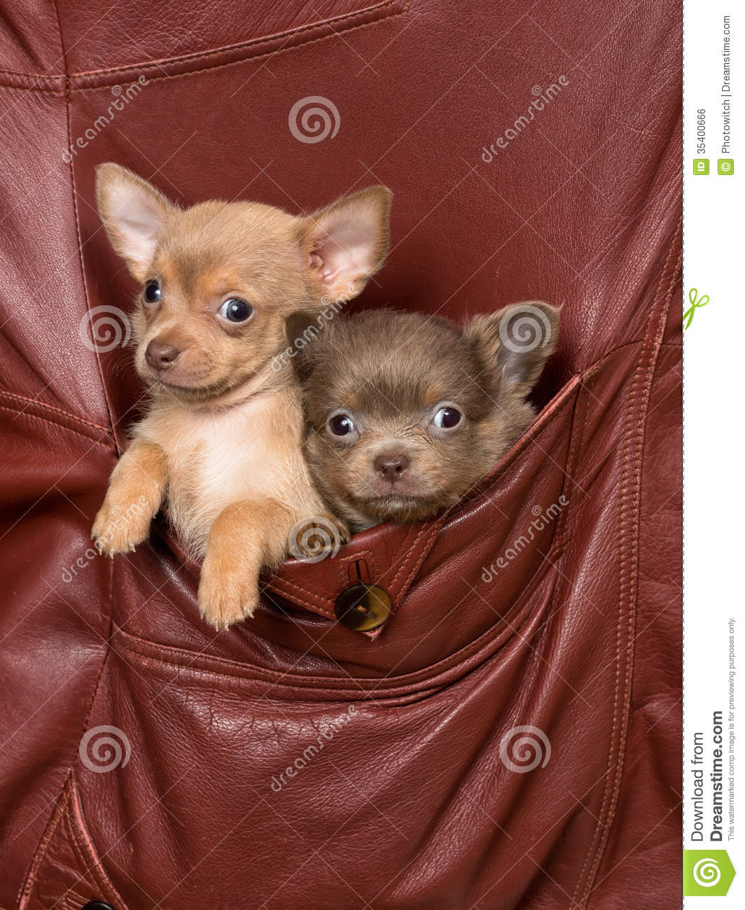 dogs in a jacket pocket royalty free stock image