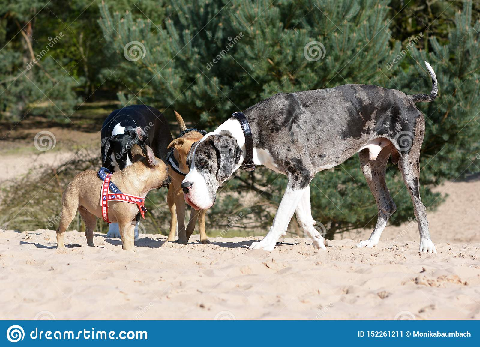 Dogs like merle colored Great Dane and small fawn French Bulldog meeting up at a dog park