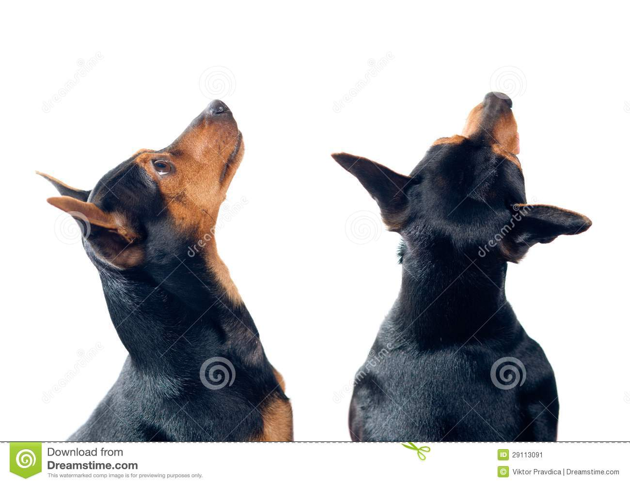 Two Pinscher dogs isolated on white looking up. Black And White Border