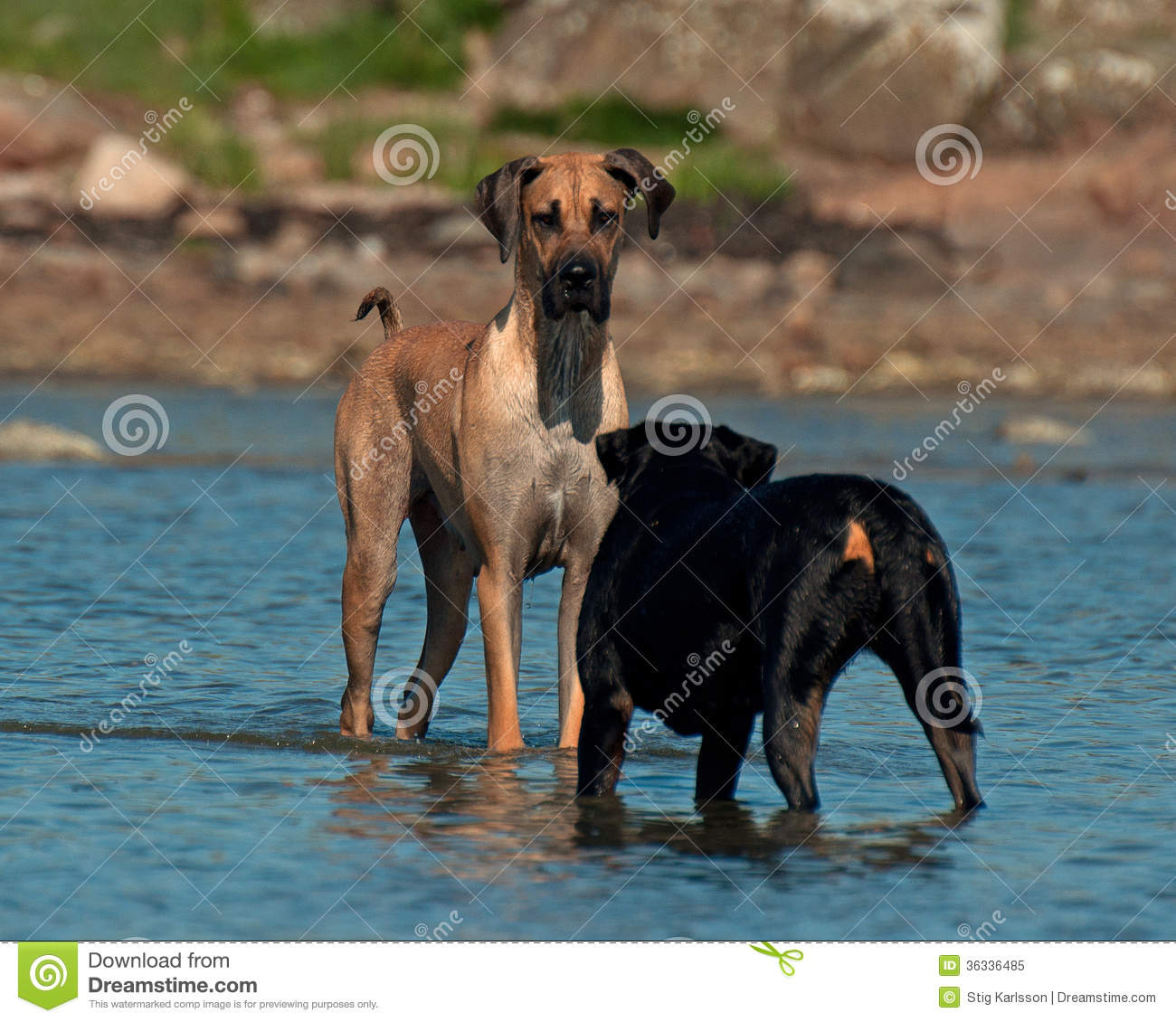 Dogs Meet On The Beach Royalty Free Stock Photo Image
