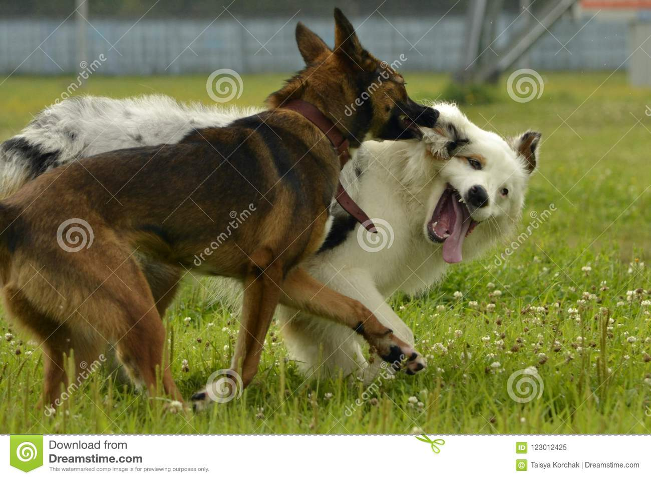 Dogs Play With Each Other Young Australian Shepherd Dog Aussie Merry Fuss Puppies Aggressive Dog Training Of Dogs Puppies E Stock Image Image Of Emotion Game 123012425