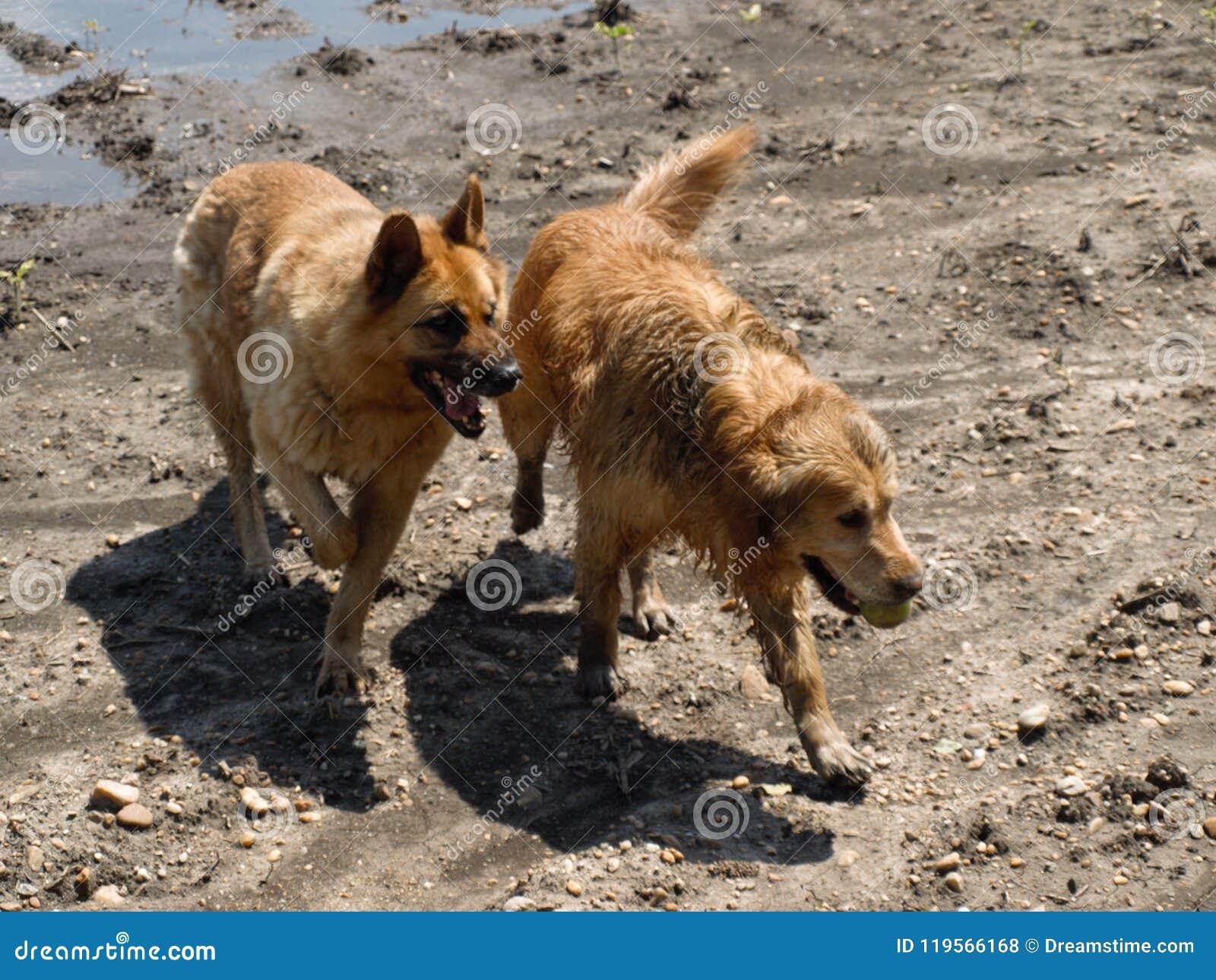 Golden Retriever And German Shepherd Stock Photo Image Of Golden