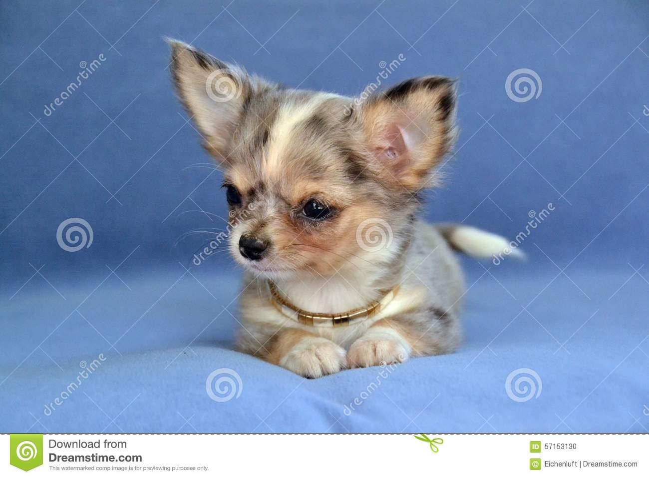 Blue Merle Chihuahua Puppy 8 Weeks Old Photos Free Royalty Free Stock Photos From Dreamstime