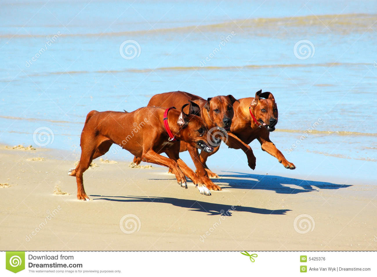 Dogs running in pack