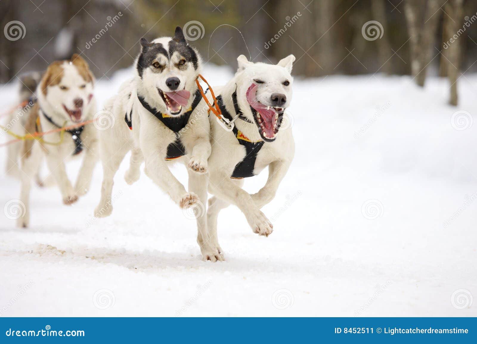Dogs sleden