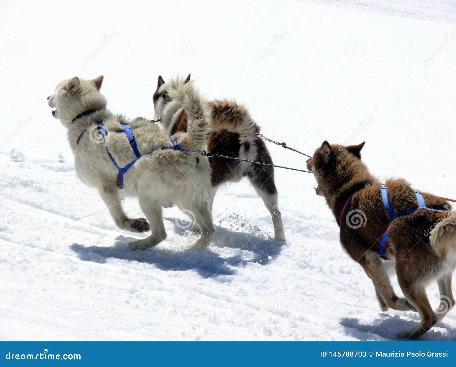 Dogs sledsnow