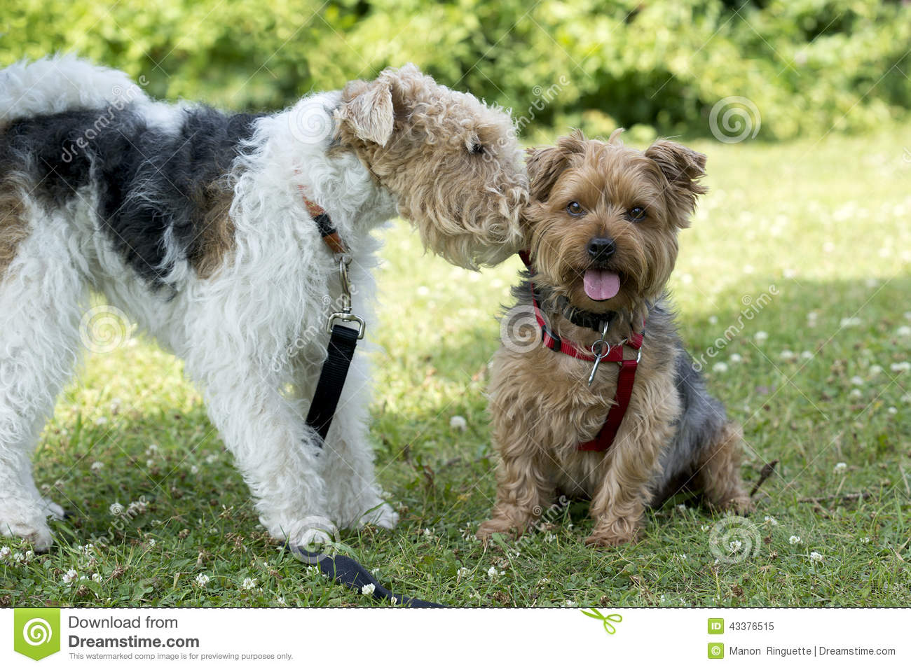Wire Hair Dogs | Dogs Socializing In The Park Stock Image Image Of Socialized