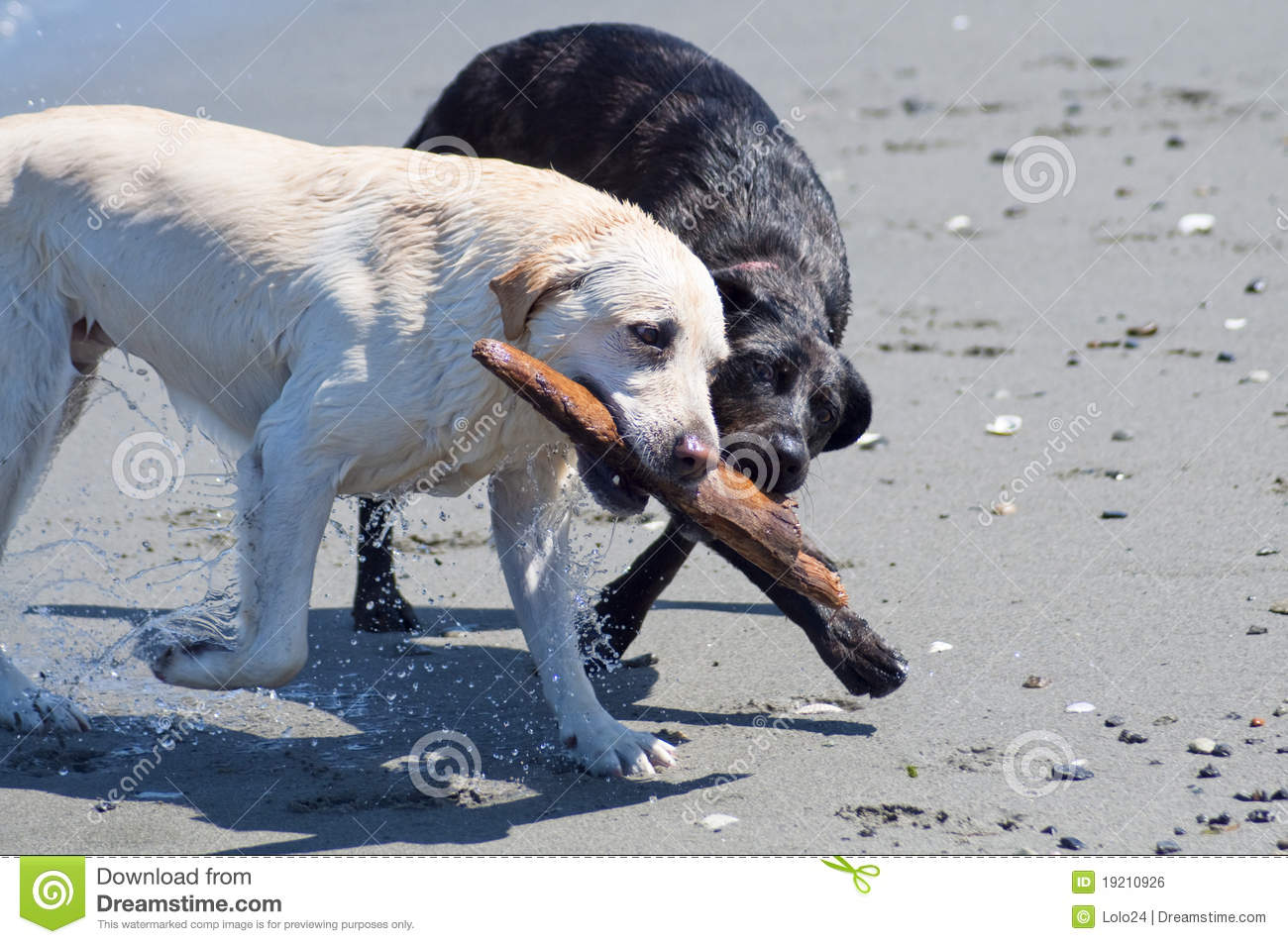 Dogs with Stick on the Beach