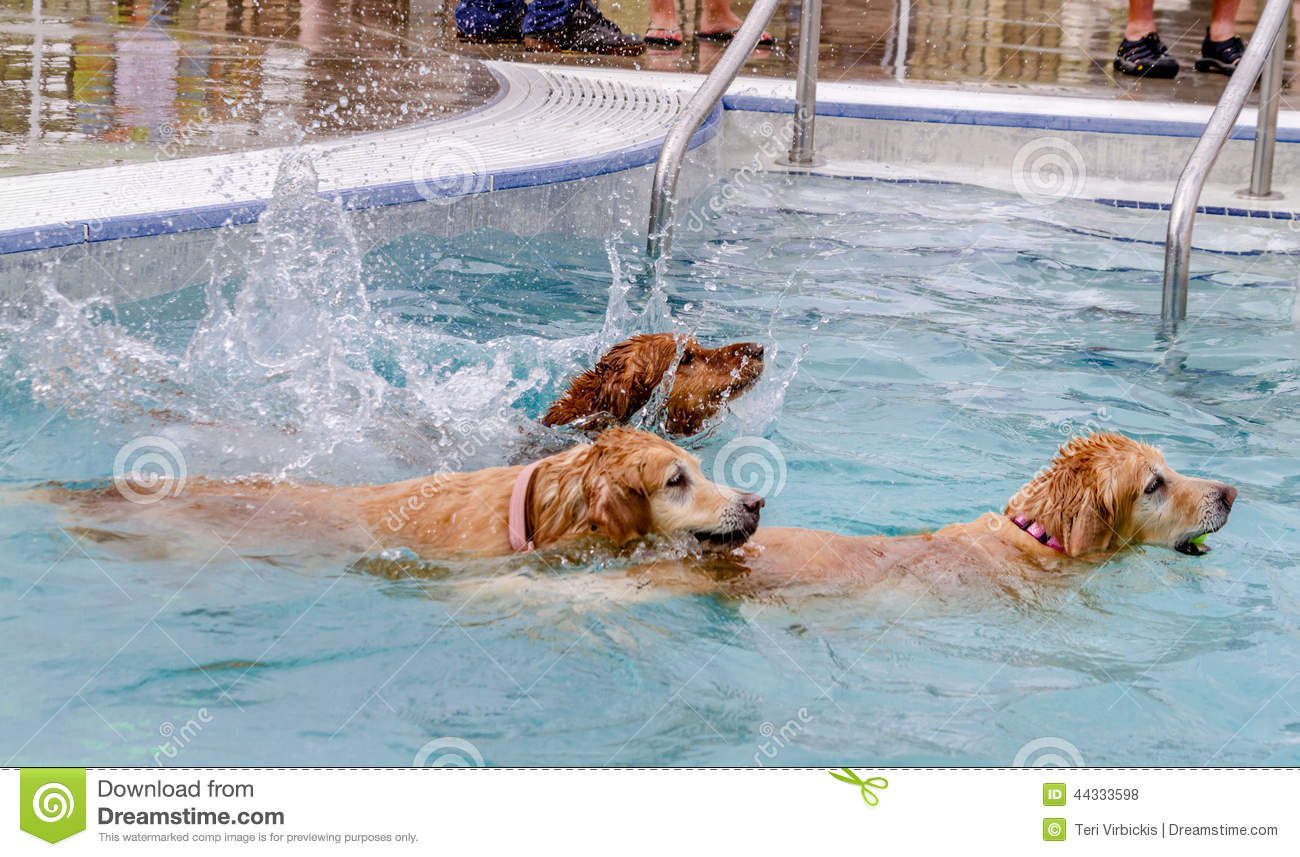 Dogs Swimming In Public Pool Royalty Free Stock Image 44333746