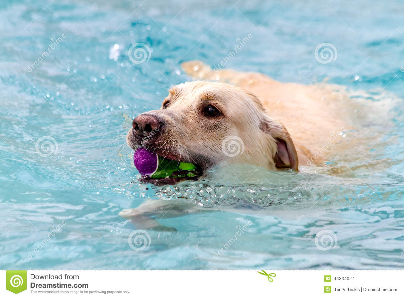 Dogs swimming in public pool stock photo image 44334027 - How big is an average swimming pool ...