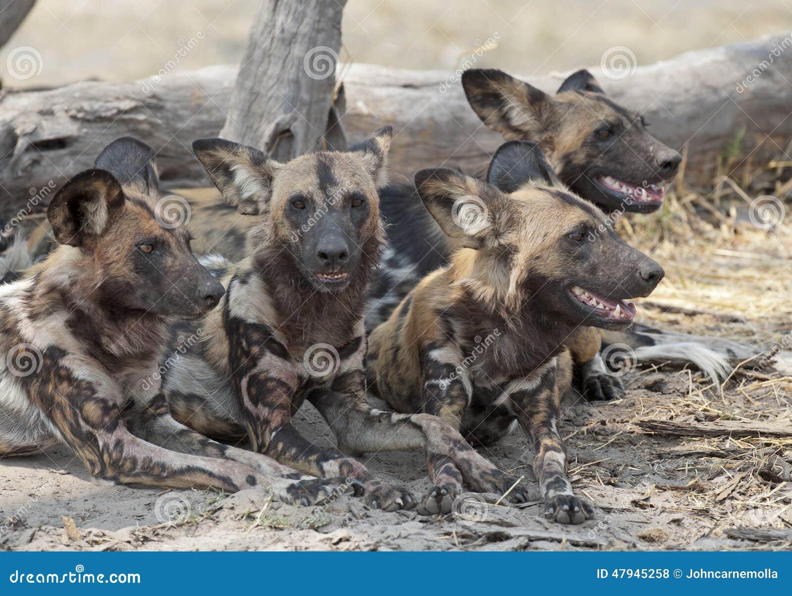 Dogs wild